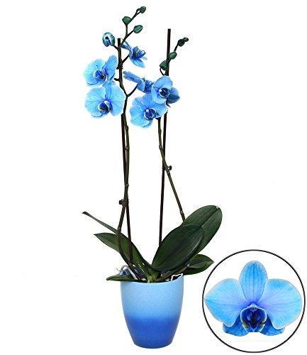 BALDUR-Garten Königsblaue Phalaenopsis, 2 Triebe, 1 Pflanze Schmetterlingsorchidee Nachtfalterorchidee