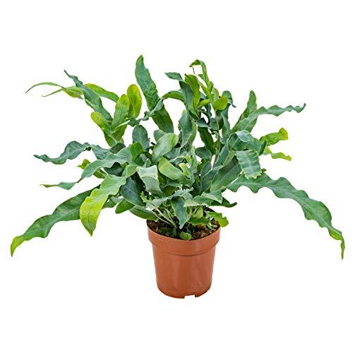 Blauer Farn | Phlebodium pro Stück - Luftreinigende Zimmerpflanze in einem Aufzuchttopf ⌀12 cm - 30 cm