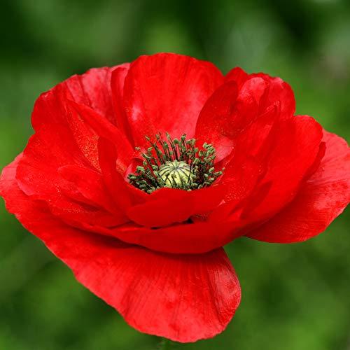 Semillas de Amapola Real Rojo Turquía 50 Semillas Amapola Natural