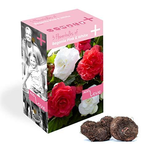 Plant & Bloom bulbos de Begonia Holandeses, 3 bulbos - Fácil de cultivar - Para la siembra de primavera en su jardín - Calidad Holandesa - Floraciones rosadas y blancas - Begonia doble