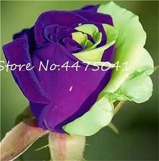 CUSHY Seeds:150 Pcs/Bag Bonsai Rainbow Rose Bonsai Easy Care Rose Plant with Red Edge Lady Most Favorite Love Flowers Plants : 3