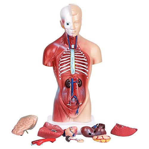 WM&LJP 11 Zoll Menschlicher Torso Körper Anatomie Modell, Medical Students Skeleton Visceral-, Vorschul- Und Schulbildung Anzeigen