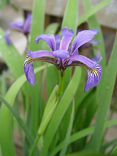 Iris versicolor (Northern Blue Flag Iris) Perennial, blue flowers, 1 - Size Container