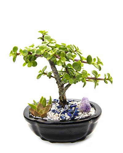 Creations by Nathalie Live Dwarf Jade Plant Mini Bonsai Tree with Ceramic Base Succulents Decorative Rocks & Healing Crystals Florida-Grown Jade Bonsai Tree Indoor Decor