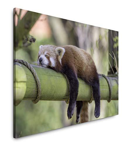 Paul Sinus Art schlafender roter Panda 40 x 60 cm Inspirierende Fotokunst in Museums-Qualität für Ihr Zuhause als Wandbild auf Leinwand in
