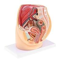 Sharplace 人間女性骨盤腔構造モデル 模型 解剖学的 展示模型 PVC製