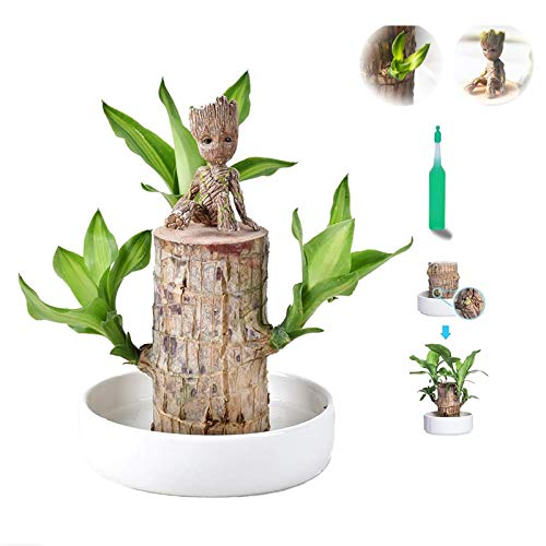 Qianpuren Brasilien Glück Badan Holz Hydroponik Topfpflanze, 7-8 cm Mini brasilianische Glück Holz Hydroponik Pflanze Topf für Indoor Desktop Pflanzen Dekoration zu sauberer Luft (1 Satz)