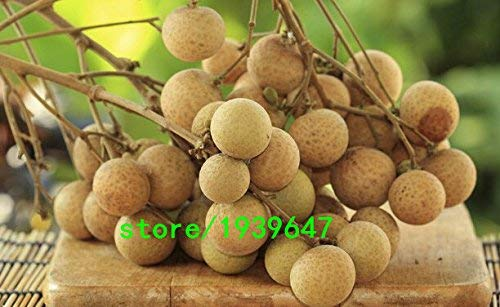 graines de fruits 10 graines vivantes Longan, Dimocarpus Dragon Eye exotiques Graines de fruits tropicaux doux