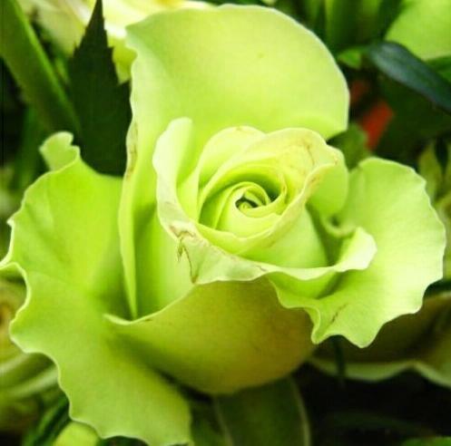 100pcs graines Rose, graines exotiques rares chinoise Rose Graines de fleurs pour les plantes de jardin à la maison, 24 couleurs