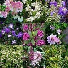 Pack x12 Hebes 'Mixed Varieties' Garden Plug Plants Special Deal !
