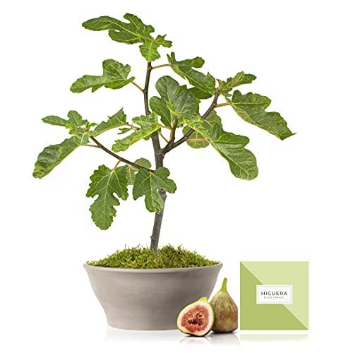 Árbol frutal Higuera 50 cm en maceta de 23 cm diámetro con tríptico con información y guía de cuidados – Planta viva exterior – Variedad Cuello de Dama Blanco