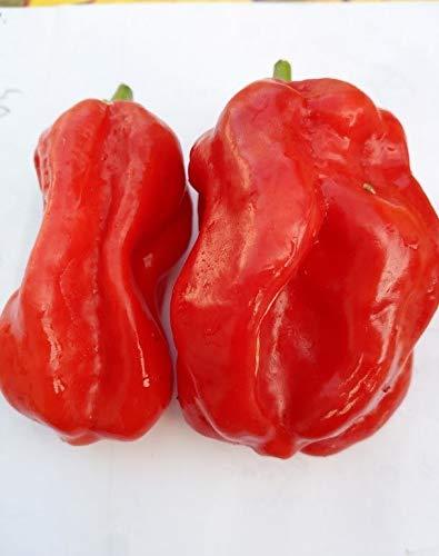 HABANERO OUGANDAIS RED (L'ouganda) 10 GRAINES piment spiccato piquant Africain