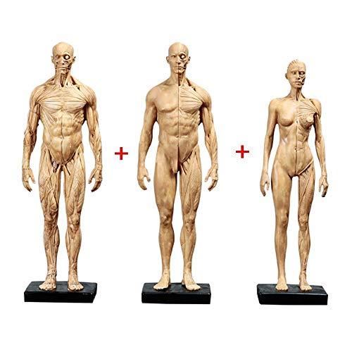Modelo Educativo De 11 Pulgadas, Figura De Anatomía Femenina Y Masculina, Y Modelo De Hueso Muscular Masculino, Figura De Anatomía Humana, Esqueleto Humano, Modelo De Pintura Anatómica Muscular para