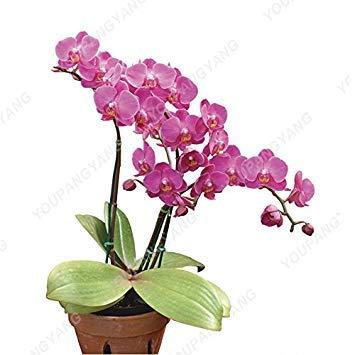 Vista 100 Graines/Sac Hydroponique Orchidée Graines Fleurs Intérieures Bonsaï Quatre Saisons Phalaenopsis Orchidées Graines Dans Bonsaï Pour La Maison Jardin Violet