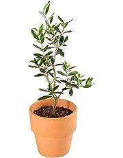 観葉植物 オリーブの木 素焼 鉢植え 4号 選べる 3品種 インテリア グリーン