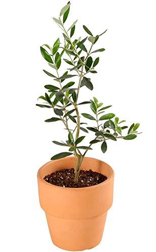 花のギフト社 観葉植物 オリーブの木 コロネイキ 素焼 鉢植え 4号 選べる インテリア グリーン
