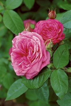 'Gertrude Jekyll' -R-, Englische Rose in A-Qualität Wurzelware