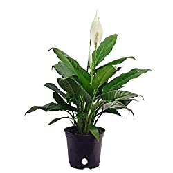 Best Air Cleaning Houseplants That Are Impossible To Kill | Peace Lily