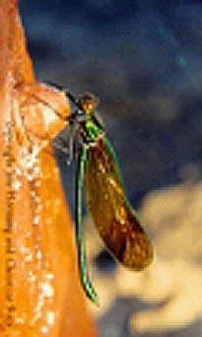 Damselflies of Alberta: Flying Neon Toothpicks in the Grass (Alberta Insects)