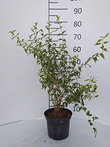 Späth Duftjasmin 'Erectus' LH 60-80 cm im 7,5 Liter Topf Heckenpflanze weiß blühend Zierstrauch intensiv duftend 1 Pflanze