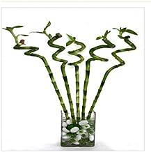 CAPPL Lucky Bamboo Spiral Sticks (60cm) - 6 Pieces