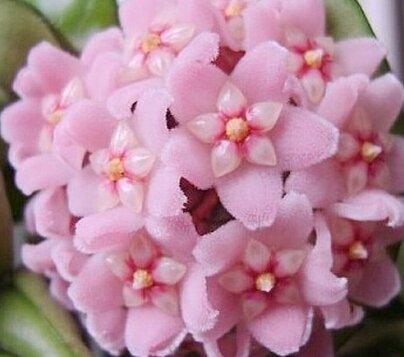 100pcs / sac Vente Hot arc Hoya Rare Graines Outdoor Blooming Bonsai fleurs des plantes en pot Livraison gratuite pour Maison et jardin 5