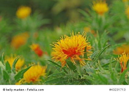 Färberdistel Carthamus tinctorius Falscher Safran 1000 Samen