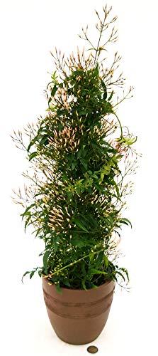 GELSOMINO, JASMINUM POLYANTHUM IN VASO CERAMICA MOKA, pianta vera