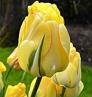 チューリップの球根,優雅な姿勢、特別な観覧盆栽になってからはかけがえのない商品です、大きな花だけでなく、緑と美しい葉、優雅な茎、淡い花の香りがしますが、何を考えていますか?-15球根,2