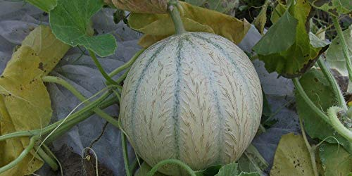 Les Graines Bocquet - Graines De Melon Hyb F1 Stellio - Graines Potagères À Semer - Sachet De 0.2Grammes