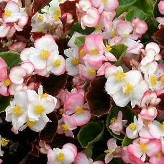 GEOPONICS Graines Begonia Cock Rum  Begonia semperflorens-cultorum  50