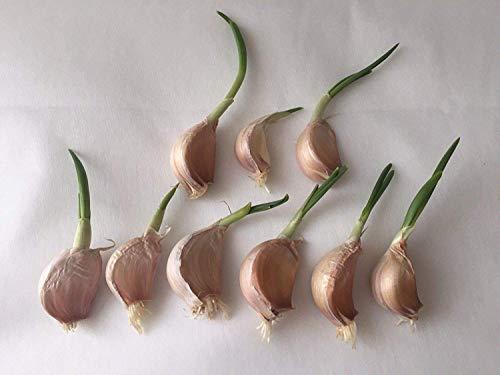 Portal Cool 10 Gewürznelken Knoblauch mit Stem & Shoots für das Pflanzen/Samen / Zwiebeln Solent Wight Hardy