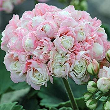 Geranie Blumen Samen Mehrjährige Bonsai Pflanzen Samen Pelargonium Graveolens topf für haus und garten 30 STÜCKE 24