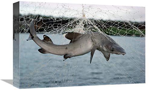 Pesca Ilegal en Redes de enmalle Ilegal, Academy Bay, Isla Santa Cruz, Islas Galápagos, Ecuador, Arte en Lienzo, 45,7 x 30,5 cm