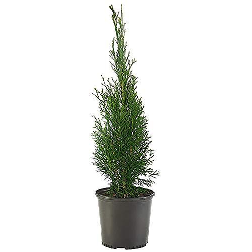 Shrub Emerald Arborvitae, 1 Gallon, Dark Green Foliage