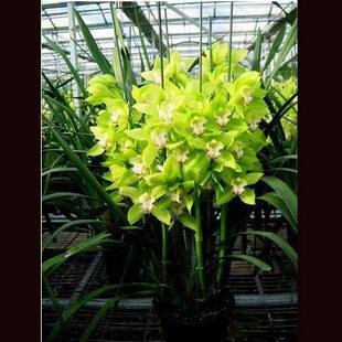 20seeds / sac de semences de fleurs Cymbidium Cymbidium graines d'orchidées 20 Capsules cicada