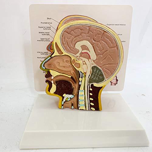 Head Mid-Sagittal Section Model, Zeigt Strukturen Wie Gehirn, Rückenmark, Nasenhöhle, Mundhöhle Und Kehlkopf, Computer-Farbanpassung