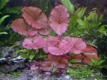 Mühlan Wasserpflanzen 3 rote Tigerlotus ca. 5 cm Austrieb mit Knolle