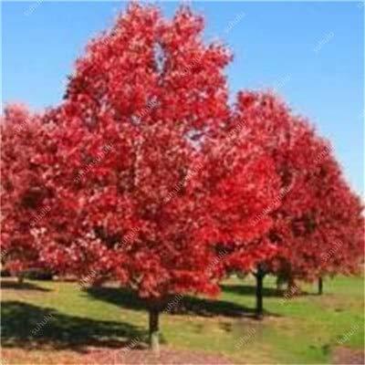 GETSO 10 Pezzi Quercia Rossa Americana Bonsai Quercus Albero perenne Piante legnose Cortile Decorazione per l\'impianto di Giardino di casa, Facile piantare: 6