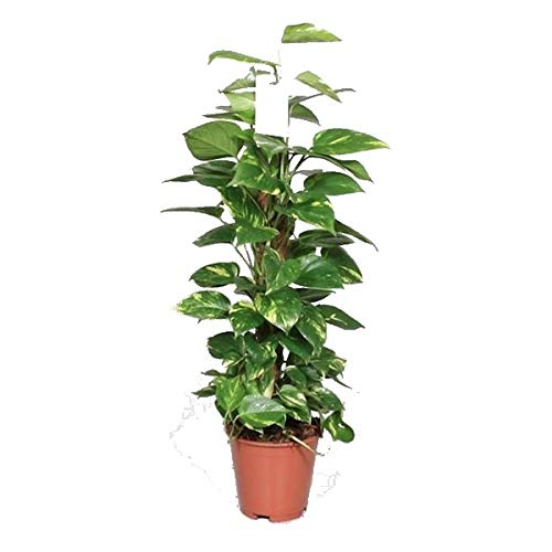Poto Tutor Planta Natural de Interior Aproximadamente 80cm