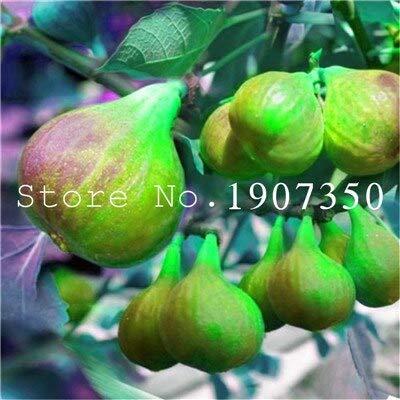 100 PC/Beutel Seltene Tropische Feigen Bonsai Mini Feigenbaum Bonsai Pflanze Bonsai Seltene Frucht Bonsai Natur Wachstum DIY Bepflanzung: 9