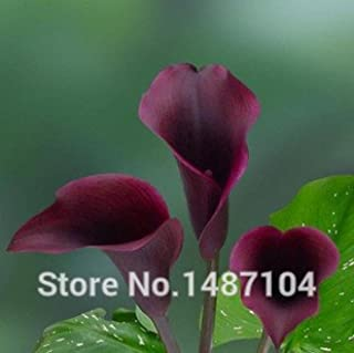 50pcs cala - Zantedeschia aethiopica semillas de flores (No Bulbos) Ciruela