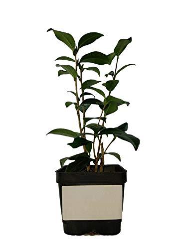 2 Lady Vansittart Variegated Camellia Japonica Quart Pot Tkgarden