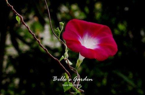 100 pcs/sac graines de pétunia, pétales de double graines de fleurs de pétunia, plante en pot bonsaï vivaces pour le jardin de la maison 5