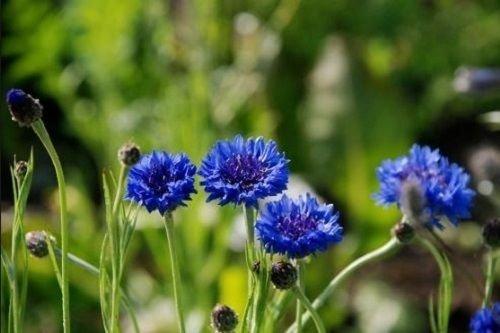 Bouton Bachelor, Grand Blue Seeds frais main incluse dans le paquet de fleurs (800 + graines)