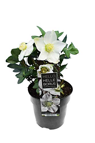 Christrose - Helleborus niger Christmas Carol - Gesamthöhe 25-35 cm - Topf Ø 15 cm