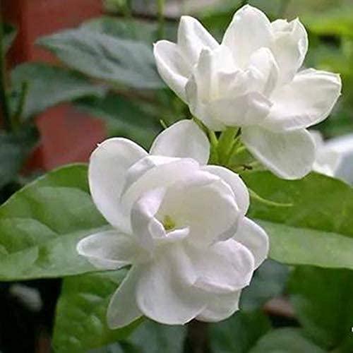 100 piezas de semillas de flores de jazmín Flores perfumadas indispensables en el patio Atraen mariposas y abejas para la polinización Fragancia atractiva