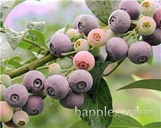 Bloom Green Co. Â¡Venta!100 Unids/bolsa Arándano Bonsai Planta de Fruta de Fruta Orgánica Comestible Enano Arándano Bonsai Ãrbol Planta en Maceta Para Jardín de Casa: 7