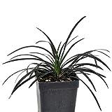Ophiopogon nigrescens, Black Mondo Grass, Ground Cover, 3' (2.6x3.5')