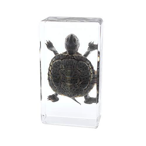 Echtes Meerestier Trachemys Scripta Elegans Schildkrötenmuster Briefbeschwerer Tierkunde Klassenzimmermuster für den Naturwissenschaftlichen Unterricht
